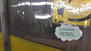 エリマキキツネザル (熊本県ふれあいファミリー牧場) 2019年4月18日