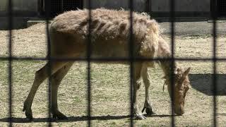 シフゾウ (熊本市動植物園) 2019年4月18日