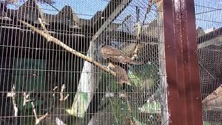 トビ (仙台市八木山動物公園/セルコホーム ズーパラダイス八木山) 2018年1月20日