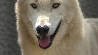 シンリンオオカミ の『ミナ』と『ジン』 (鹿児島市 平川動物公園) 2019年4月17日