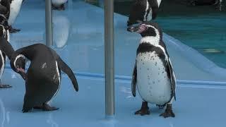 フンボルトペンギン (王子動物園) 2019年1月10日