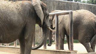 アフリカゾウ の『アイ』と『キョウコ』 (東武動物公園) 2020年9月18日