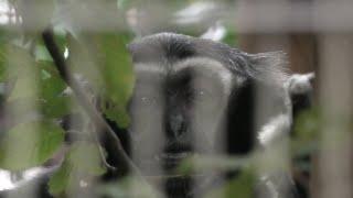 Pileated Gibbon (Yokohama Zoological Gardens [ZOORASIA], Kanagawa, Japan) September 16, 2020