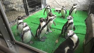 フンボルトペンギン (虹の森公園 おさかな館) 2019年12月24日