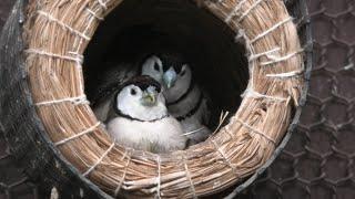 Double-barred finch (Saitama Children's Zoo, Saitama, Japan) September 15, 2020