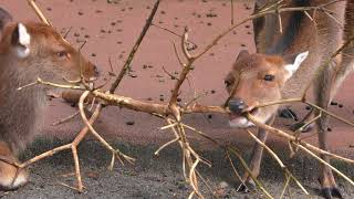 木の枝で遊ぶニホンジカ (井の頭自然文化園) 2017年9月23日