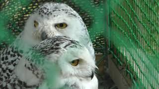 Snowy owl (Yayoi Ikoi Square, Aomori, Japan) August 7, 2019