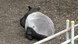 休憩中のマレーバク (千葉市動物公園) 2017年9月24日