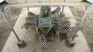 グラントシマウマ と ダチョウ (宮崎市フェニックス自然動物園) 2019年12月9日