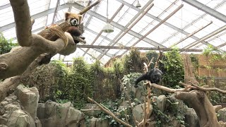 Lesser panda & Binturong (KOBE ANIMAL KINGDOM, Hyogo, Japan) April 23, 2021