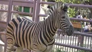チャップマンシマウマ の『凪斗』と『ラブ』 (王子動物園) 2018年9月16日