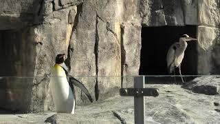 フンボルトペンギン と オウサマペンギン (愛媛県立 とべ動物園) 2019年12月25日