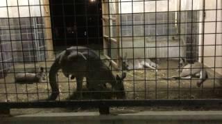 夜のオオカンガルー(上野動物園) 2017年8月9日