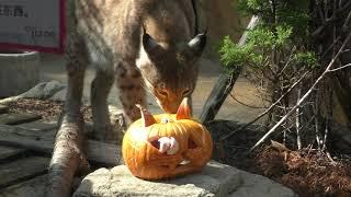 シベリアオオヤマネコ にハロウィンかぼちゃのプレゼント (王子動物園) 2019年10月27日