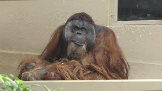 ボルネオオランウータン の『ジュン』と『ミンピー』 (静岡市立 日本平動物園) 2019年9月29日