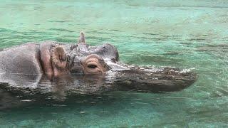 Hippopotamus (TOBU ZOO, Saitama, Japan) September 18, 2020