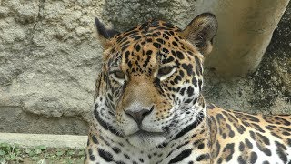ジャガー の『卯月 小助』 (静岡市立 日本平動物園) 2019年9月29日