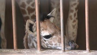 キリン の 赤ちゃん 『ひまわり』 (神戸市立 王子動物園) 2020年8月4日