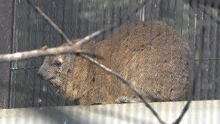 ボタンインコ と ケープハイラックス (福山市立動物園) 2019年2月25日
