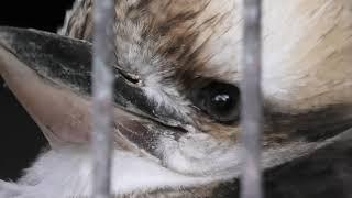 ワライカワセミ (宮崎市フェニックス自然動物園) 2019年12月9日