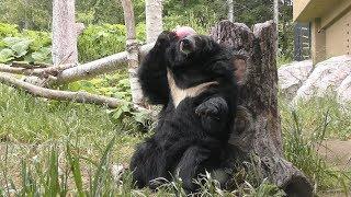 ヒマラヤグマ の『ミナミ』と『トモ』 (札幌市 円山動物園) 2019年6月13日