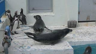 ペンギン と アザラシ の同居展示 (わっかりうむ ノシャップ寒流水族館) 2019年6月23日