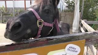 ポニー の『アグリン』と『リリー』 (アグリパーク竜王 動物ふれあい広場) 2019年10月31日