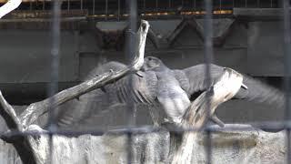 セーカーハヤブサ (天王寺動物園) 2017年11月3日