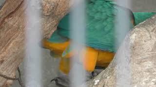ルリコンゴウインコ の『リリ』と『ルル』 (王子動物園) 2018年9月16日