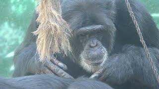 チンパンジアム (伊豆シャボテン動物公園) 2019年10月1日