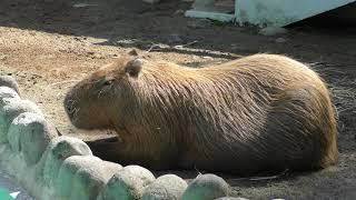 Capybara (Manriki Park Manyo-no Mori Zoo, Yamanashi, Japan) September 23, 2018