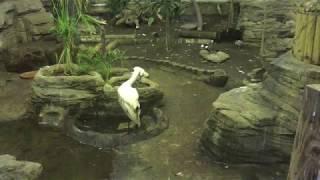 ヘラサギ(上野動物園) 2017年8月9日