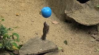 マングースの餌を食べる スズメ (天王寺動物園) 2019年11月20日