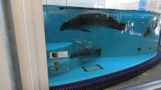 Spotted Seal (TOBA AQUARIUM, Mie, Japan) December 25, 2020