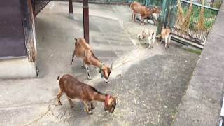 家畜ヤギ (多摩動物公園) 2017年8月27日