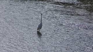 白鷺 (群馬県・鏑川) 2018年11月10日