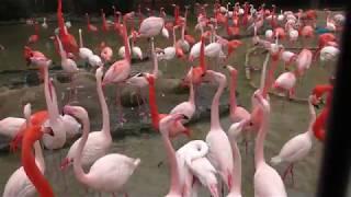 フラミンゴプール (王子動物園) 2019年1月10日