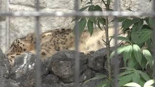 ユキヒョウ の『ミュウ』 (甲府市遊亀公園付属動物園) 2018年9月23日