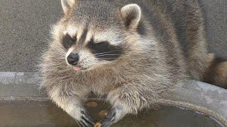 Common raccoon (Manriki Park Manyo-no Mori Zoo, Yamanashi, Japan) September 23, 2018