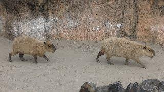 カピバラ (鹿児島市 平川動物公園) 2019年4月17日
