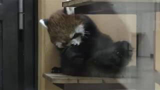 レッサーパンダのホーリーちゃん (日本平動物園) 2017年12月10日