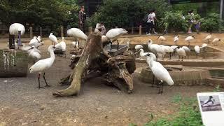 クロツラヘラサギとクロトキ (多摩動物公園) 2017年8月27日