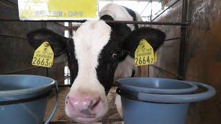 仔牛たち (成田ゆめ牧場) 2020年9月12日