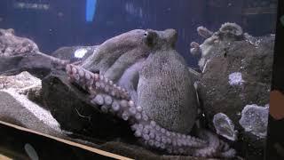 Noto-1 水中ものまねグランプリ (のとじま水族館) 2019年8月17日