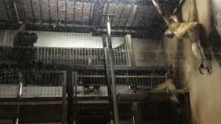 ジョフロイクモザル(上野動物園) 2017年8月9日