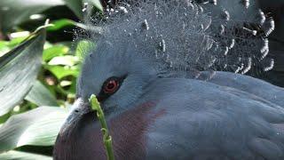 Victoria crowned-pigeon (KOBE ANIMAL KINGDOM, Hyogo, Japan) April 23, 2021
