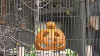 セキセイインコ (王子動物園) 2019年10月27日