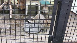 アライグマの手洗い (東武動物公園) 2017年7月15日