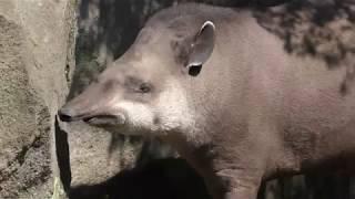 ブラジルバクの『トバチ』 (伊豆シャボテン動物公園) 2018年4月22日