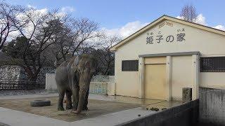 アジアゾウ の『姫子』 (姫路市立動物園) 2019年2月16日